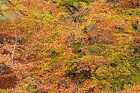 ORPTH_107 - USA, Oregon, Portland, Hoyt Arboretum, Autumn color of American beech trees (Fagus grandifolia).