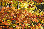 Fall color foliage of a maple tree