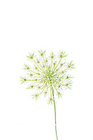 30099-00619 Queen Anne's Lace (Daucus carota) (high key white background) Marion Co. IL