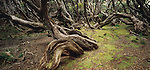 Twisted Rata tree trunks. Auckland Islands. New Zealand Sub-Antarctic Islands.