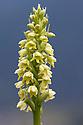 Small White Orchid (Pseudorchis albida) Nordtirol, Austrian Alps, Austria, July.