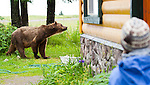 A coastal brown bear walks around the lodge at Silver Salmon Creek, while a guest looks on, in Lake Clark National Park in Alaska.  Photo by Gus Curtis.