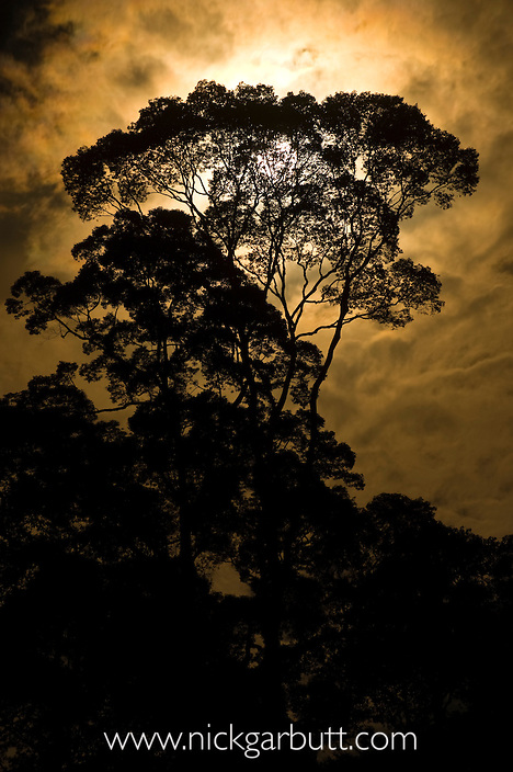Rainforest canopy - Menggaris tree - by moonlight. Danum Valley, Sabah, Borneo.