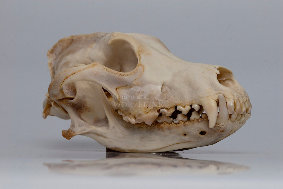 Wolf (Canis lupus), schedel collectie Naturalis