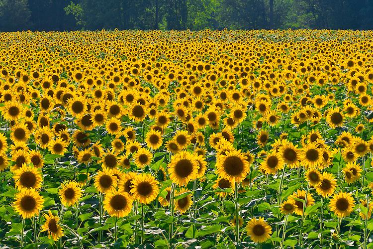 Sunset light on a field of sunflowers; Midewin National Tallgrass Prairie, IL