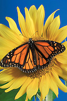 MONARCH BUTTERFLY on sunflower..North America. Danaus plexippus.