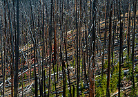 A forest fire ravage landscape shows rebirth a few years later with young conifers growing between scarred trees, Yellowstone National Park, Wyoming