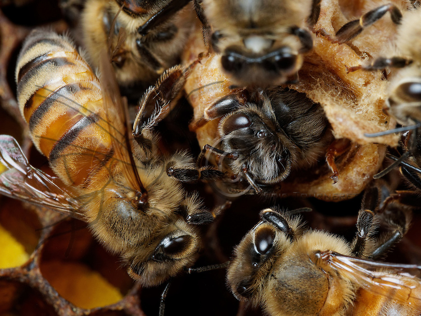 Honey Bees nurses welcoming a young honeybee queen birth