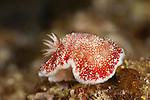 Nudibranch (Chromodoris tinctoria)