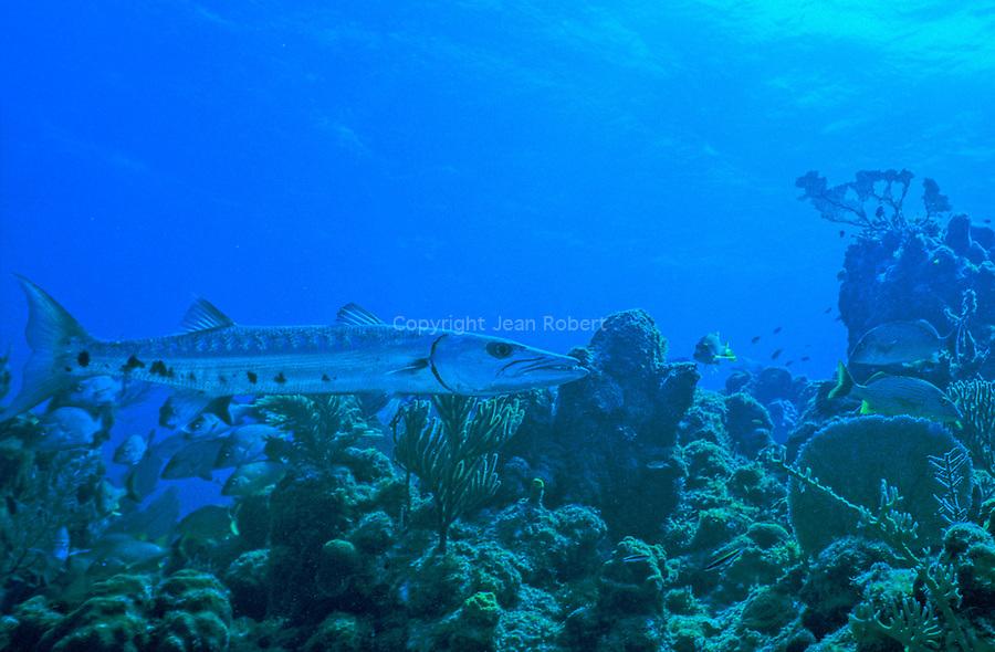 . Barracuda. plongée sur le site de maria la Gorda à l'ouest de Cuba