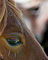 Close up of a carmel horse's eye clearly showing the landscape in the horses eye including the blue sky, green grass and the photographer!