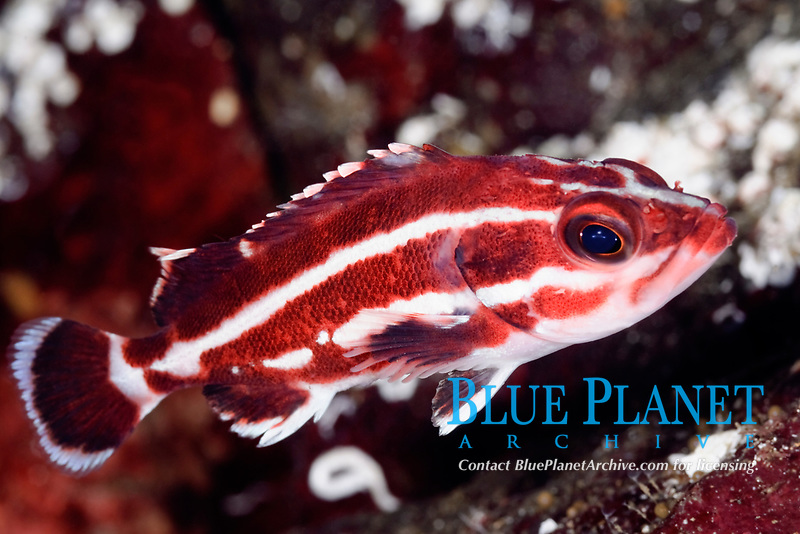 Juvenile Yelloweye rockfish, Sebastes ruberrimus, Sunshine Coast, British Columbia, Pacific Ocean