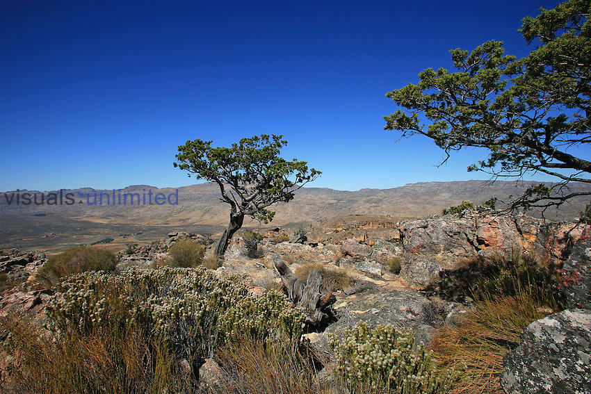 Clanwilliam Cedar is one of the largest of the fynbos trees, growing up to 20 meters, Cederberg Wilderness, South Africa (Widdringtonia cedarberensis).