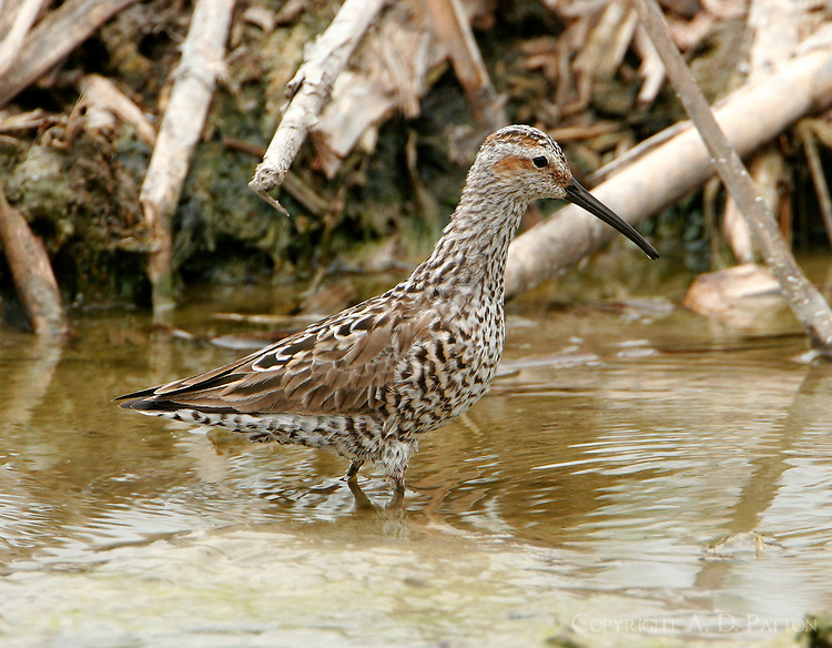 Stilt sandpiper adult breeding walking along shoreline of pond