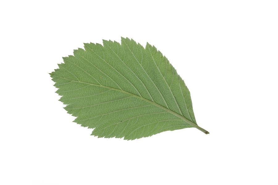 Gewöhnliche Mehlbeere, Mehl-Beere, Sorbus aria, Whitebeam, Alisier blanc, Alouchier. Blatt, Blätter, leaf, leaves, Blattunterseite
