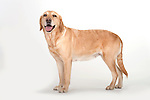Golden Labrador Dog, Standing, Studio, White Background