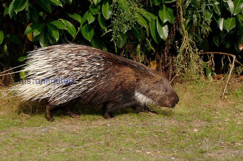 Indian Crested Porcupine (Hystrix indica). Captive