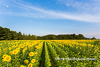 63801-07414 Sunflower field Sam Parr State Park Jasper County, IL