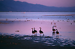 Group of Canada geese walking along shore