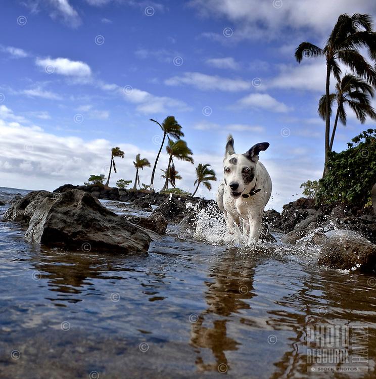 Zelda, a rescue dog, running in the oceanat Maunalua Bay, Oahu, Hawaii.