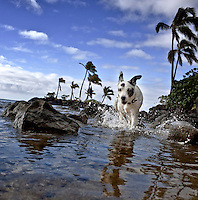Zelda, a rescue dog, running in the ocean at Maunalua Bay, Oahu, Hawaii.