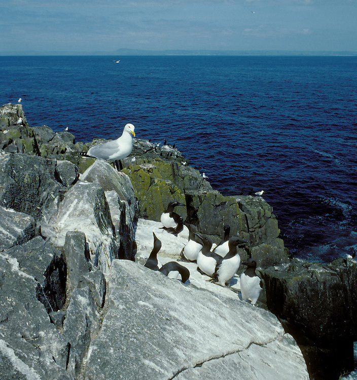 Seabird Cliffs, Craigleith