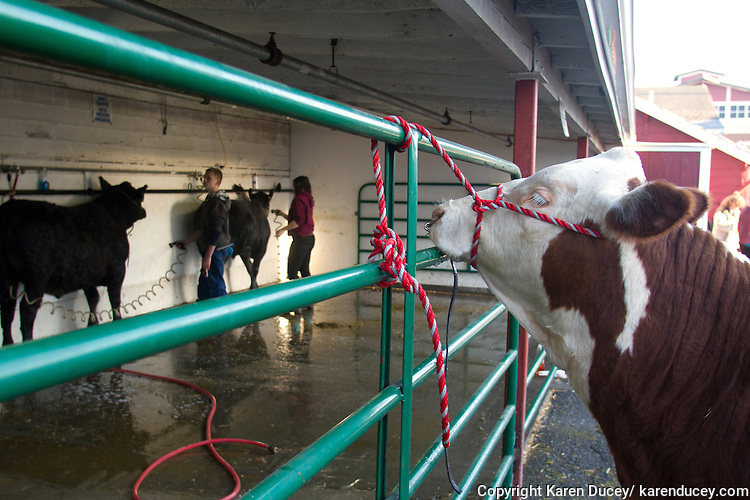 Steers wait for their morning bath. Students from 4-H Club and FFA care for and show they animals at the Northwest Junior Livestock Show at the Washington State Spring Fair in Puyallup, Washington on April 17, 2015