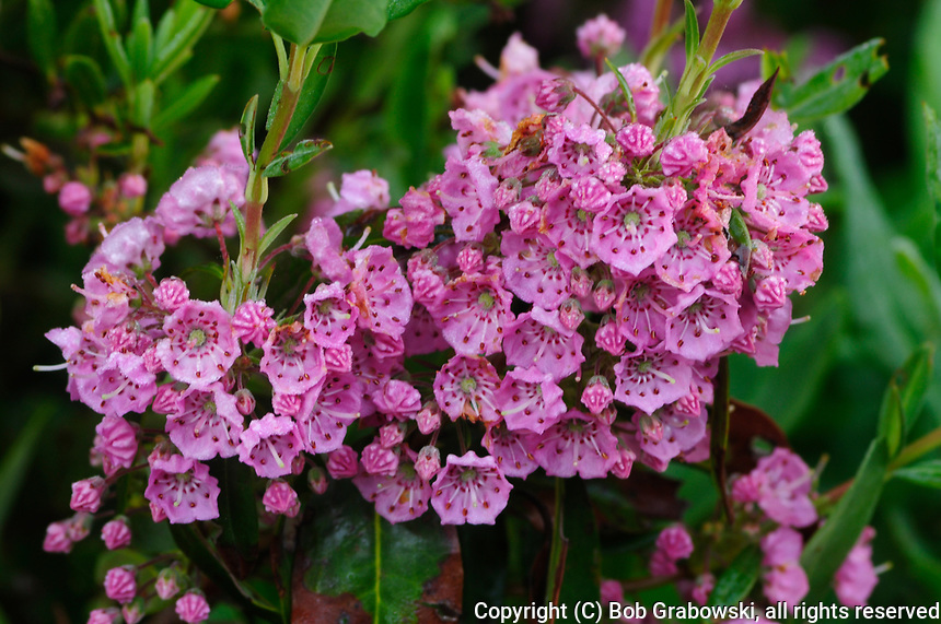 Flowers of the Sheep Laurel Growing In the Adirondak Forest Preserve in New York State
