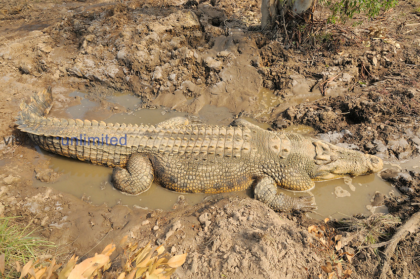Saltwater Crocodile (Crocodylus porosus), Queensland, Australia