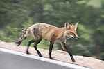 red fox, Vulpus, vulpus, running, roadside, Rocky Mountains, Estes Park, Colorado, Rocky Mountains, USA