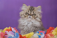 Persian Cat, Felis catus, Brown Tabby, Kitten, Hill Country, Texas, USA, July 2006