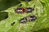 Kohlwanze, Kohl-Wanze, Kohl - Wanze, Kopulation, Paarung, verschiedene Färbungsvarianten, Eurydema oleraceum, brassica bug