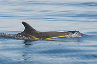Rough-toothed Dolphin, Steno bredanensis, surfacing with a Dorado, mahi mahi or dolphinfish, Coryphaena hippurus, in it's mouth, Costa Rica, Pacific Ocean This species of Dolphin is known to prey on large fish such as Dorado.