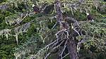 USA, Alaska, Glacier Bay National Park, bald eagle (Haliaeetus leucocephalus)