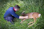 "© Joel Goodman - 07973 332324 . Stockport , UK . Veterinary surgeon SIMON CONSTABLE checks on the tranquilised deer in Reddish Vale Country Park before bringing him round . A wild deer which was discovered in a park by the busy Manchester Road in Stockport has been rescued after three days . The park was closed and locked by Stockport Council officials on Monday 24th June after the young male started bolting across the playing field and playground and butting its head and antlers against railings . But with the gates locked , the young animal could not escape . For three days local people came out to watch the deer from the fence as it hid in bushes around the edge of the park , occasionally venturing out across the playing pitch and in the direction of the busy A626 road . The landlord at "" The Hind's Head "" pub opposite , Stuart Kirkham , a Manchester United fan , named the beast "" Ronaldo "" because of its red colouring . After three days , with no hope of escape under its own steam and with the park still closed , the RSPCA and council brought in a veterinary surgeon to help . The animal was tranquilised and driven to nearby Reddish Vale Country Park , where he was brought round and released back in to the wild . Photo credit : Joel Goodman"