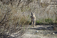 Wild Bobcat (Lynx rufus) walking though grass along dry stream bed in Central California.  December.  (Completely wild, non-captive cat.)