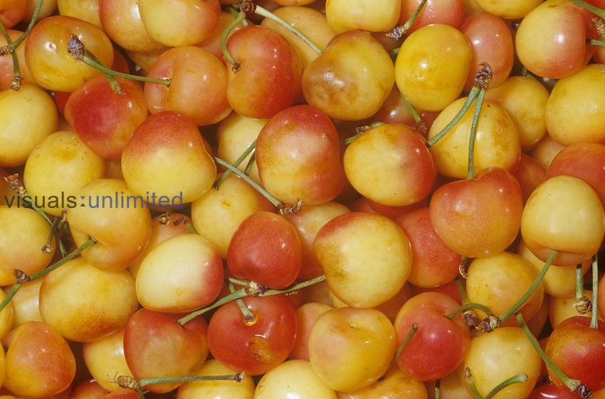 Cherry variety Rainier, Golden (Prunus avium) native to Caspian Sea and Balkans.