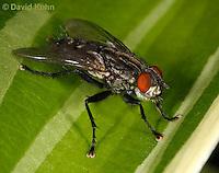 1225-0907  Flesh Fly (Maggot Fly), Family: Sarcophagidae  © David Kuhn/Dwight Kuhn Photography
