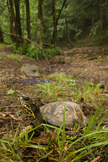 Eastern Box Turtle (Terrapene carolina carolina) found in the Eastern United States.