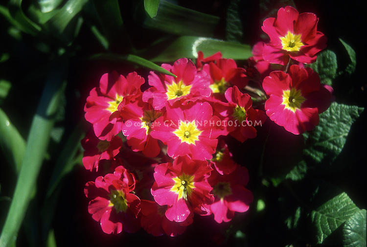 Primula x polyantha (Polyanthus primrose) red with yellow center