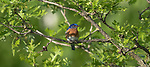 Male eastern bluebird perched in a burr oak tree