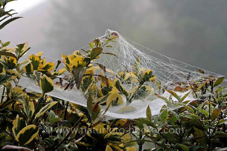 Gemeine Baldachinspinne, Baldachin-Spinne, baldachinförmiges Netz mit Morgentau, Spinnennetz, Linyphia triangularis, European sheet-web spider, Money Spider, sheet-web weaver, line-weaving spider, line weaver