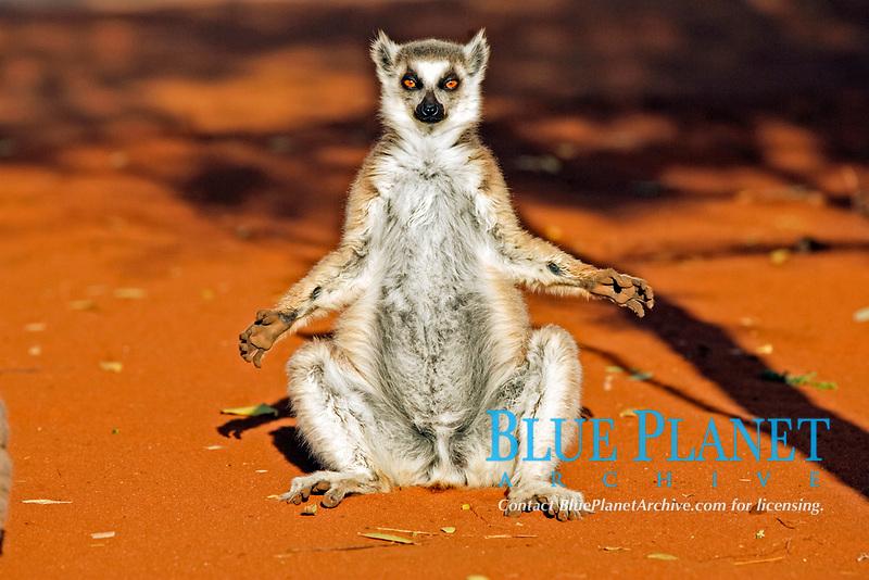 Ring-tailed Lemur (Lemur catta), adult, sunbathing, Berenty Game Reserve, Madagascar, Africa