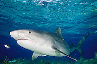 Tiger Shark (Galeocerdo cuvier) underwater in the Bahamas.