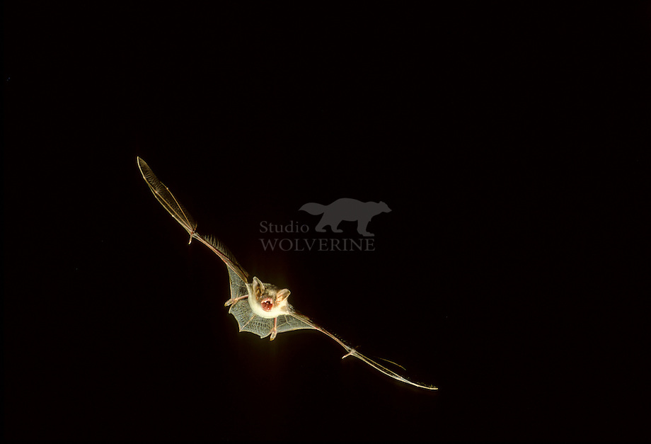 Vale vleermuis (Myotis myotisi) in vlucht