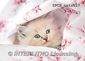 Xavier, ANIMALS, REALISTISCHE TIERE, ANIMALES REALISTICOS, cats, photos+++++,SPCHCATS827,#A#