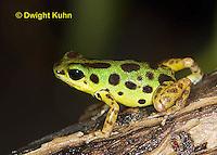 FR24-531z  Strawberry Poison Dart Frog,.Dendrobates pumilio
