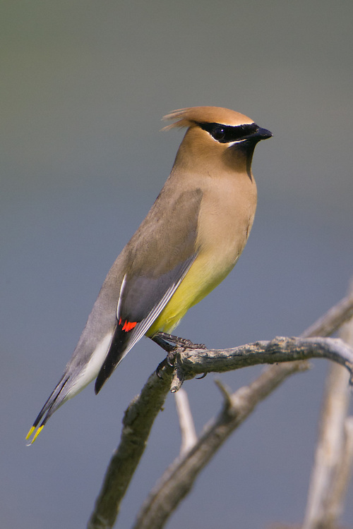 Cedar Waxwing perched on a branch