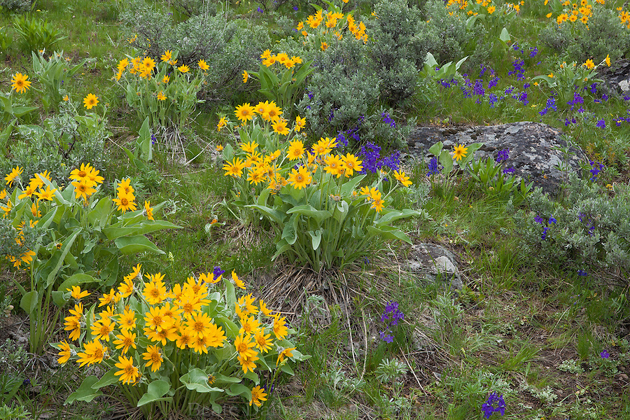 Wildflowers in the Lamar Valley, Yellowstone