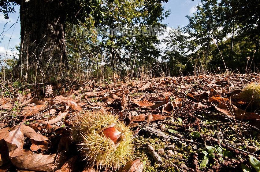 Basilicata 2010 - Bosco di castagno - Particolare della composizione naturale di castagne e foglie.